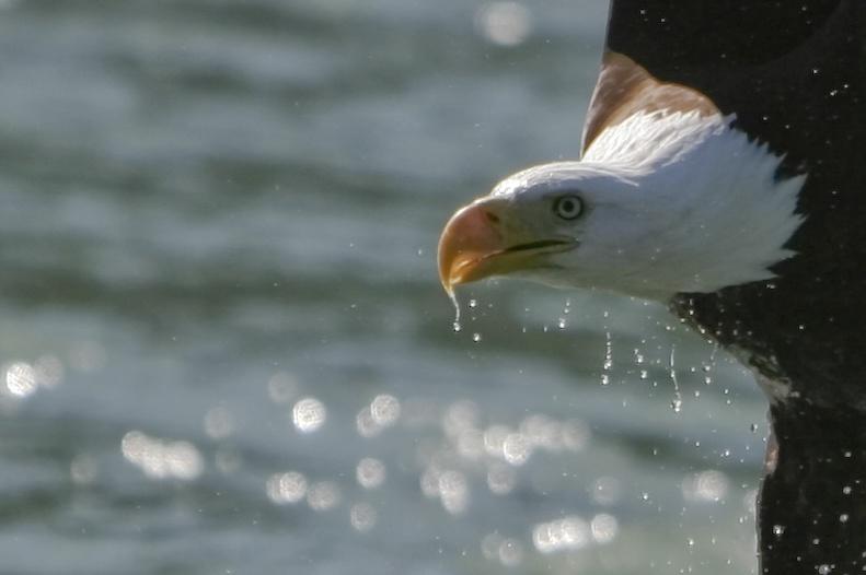eagle head.jpg