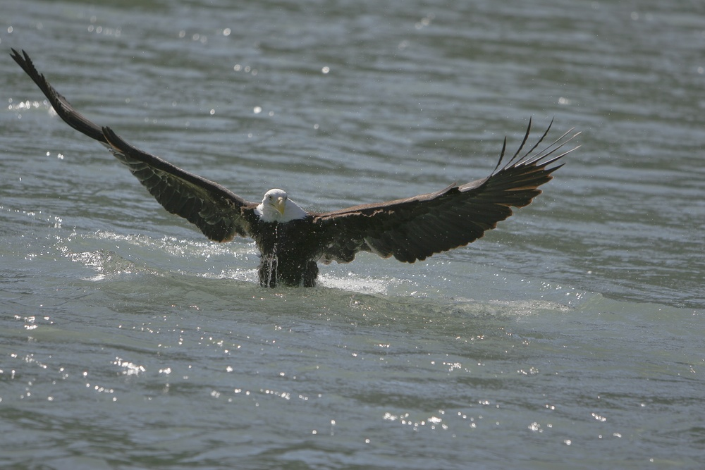 eagle in the water.jpg