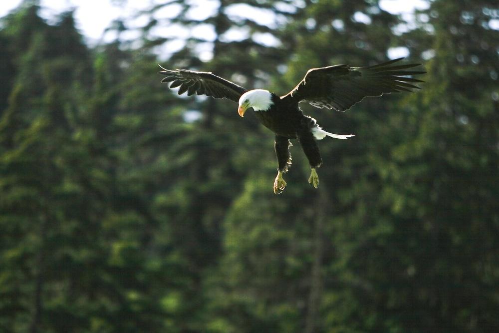 eagle landing.jpg