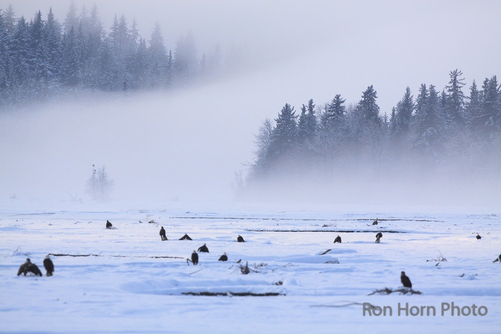 Eagles gather in the winter,waiting for salmon along the Tsirku River in the Chilkat Valley.
