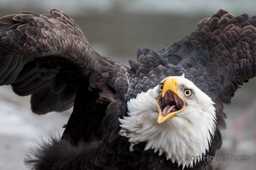 It is our job to give the eagles a voice