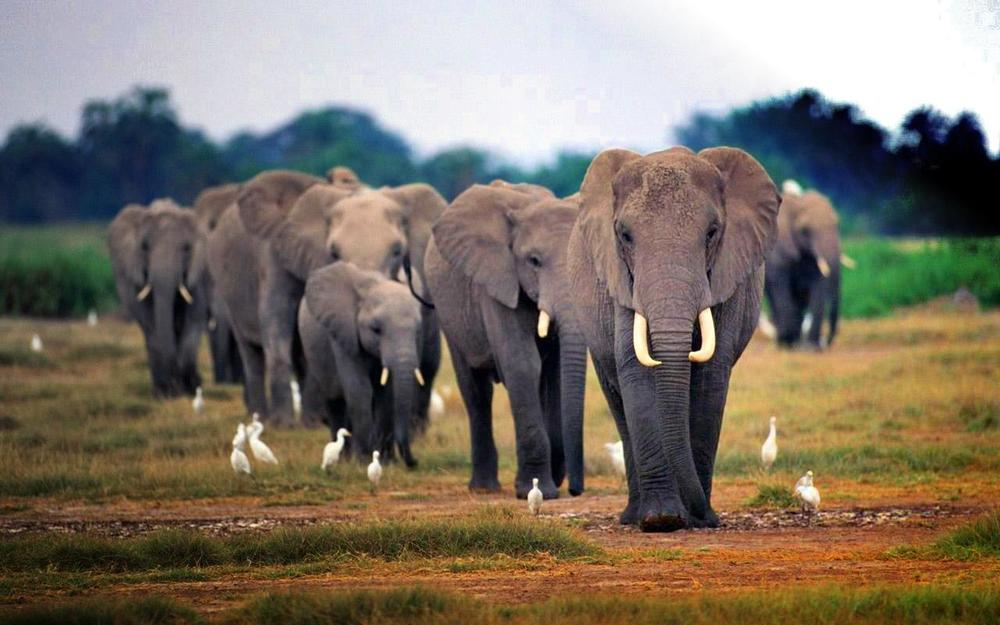 African elephant herd. Source: Nation of Change