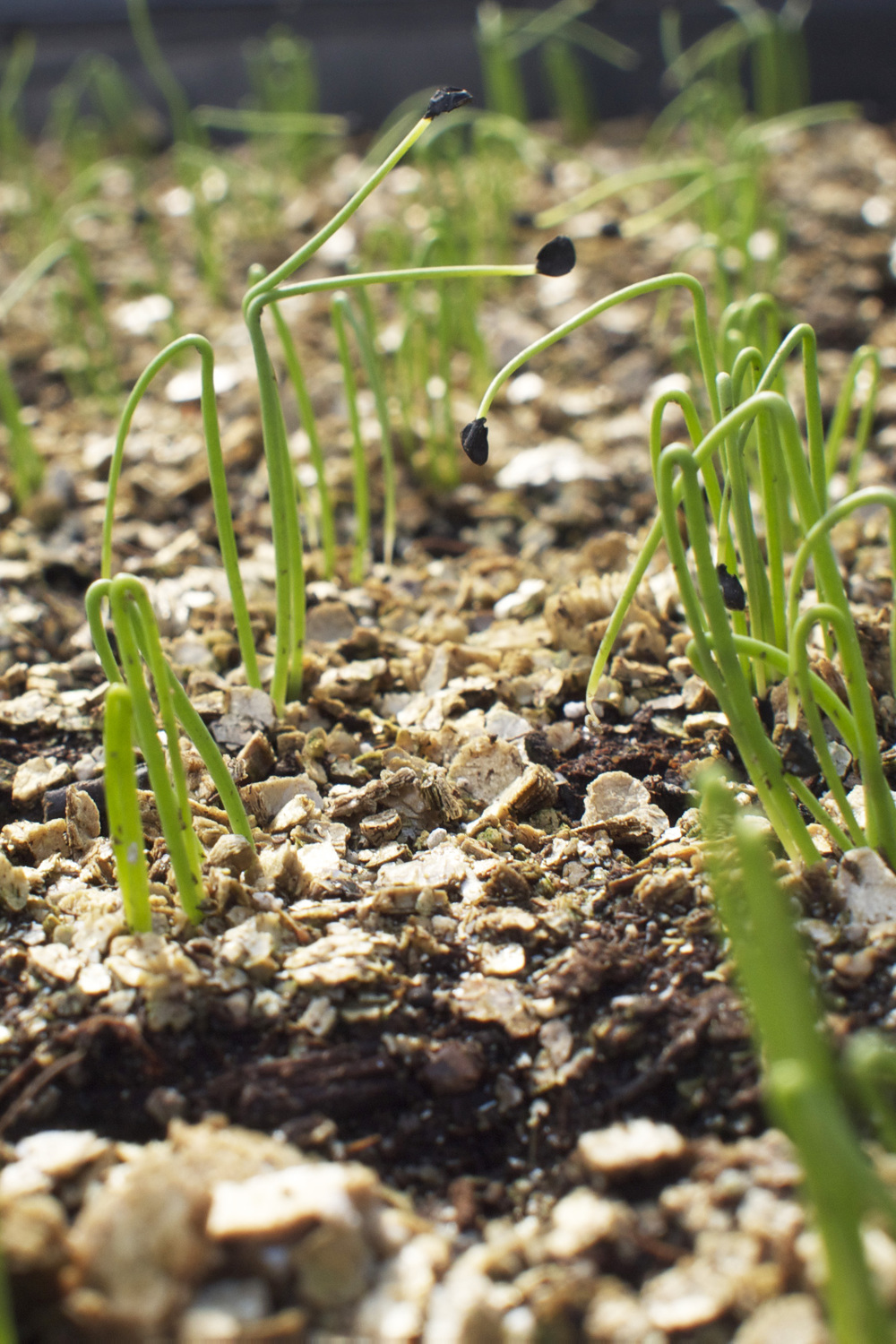 onion seedlings.jpg