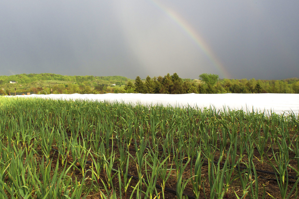 rainbow and garlic patch.jpg
