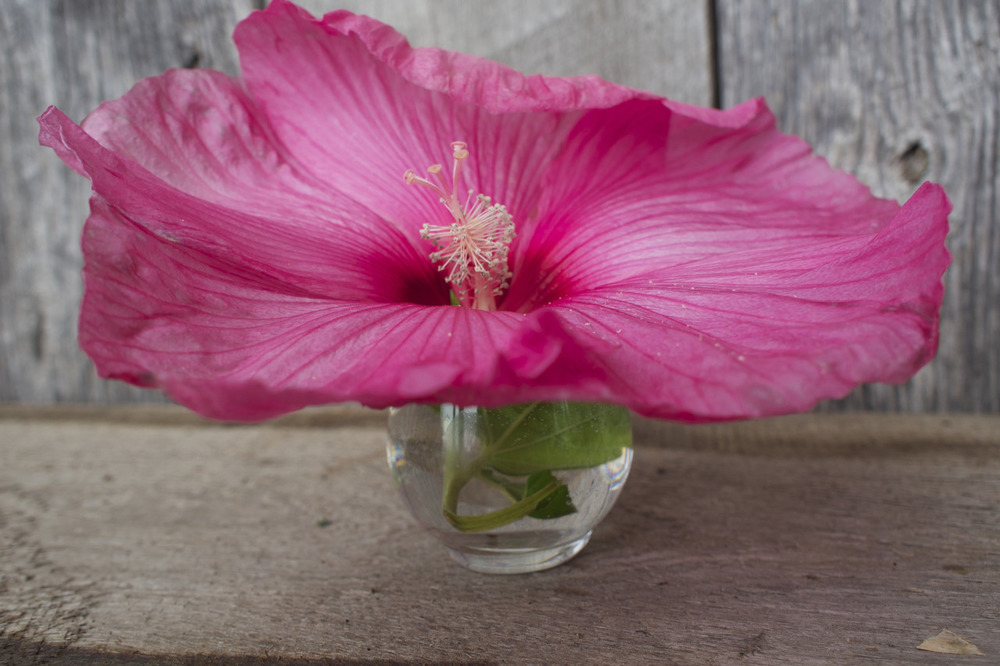 Hibiscus Flower grown by our neighbor.
