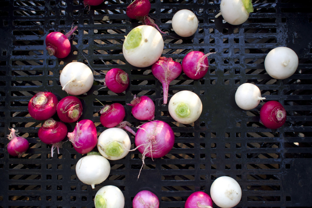 """Salad Turnips are sweet and tender and much mellower than the standard """"purple top"""" turnips of European heritage. Often referred to as Hakurei (which is a variety of salad turnip), they are tasty on a spring crudités platter, dipped in salt, or roasted with a bit of this and a touch of that. This year Loma has added a purple variety to the rotation from an Asian centric seed company from California called Kitazawa Seed Co.  The Harvest is beginning to role in. For restaurant accounts this week we are harvesting bok choy, rapini, salad mix, arugula, French Breakfast and Easter Egg radishes, salad turnips, Rhubarb, asparagus, spinach, scallions, and chives. For our own private reserve we also have green garlic, kohlrabi, and a fine selection of herbs."""
