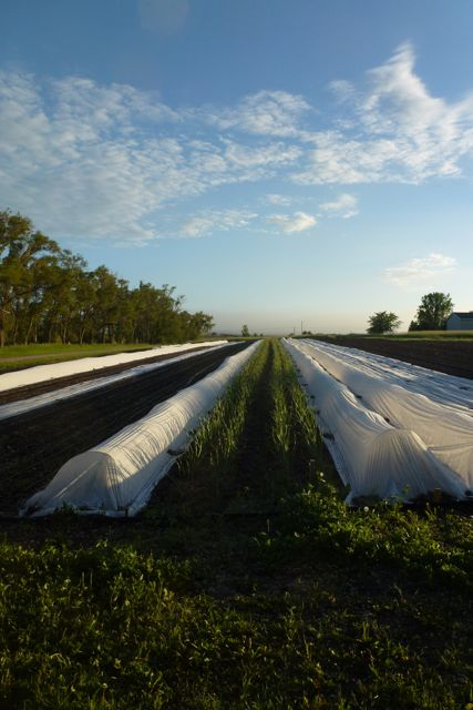 Early Saturday morning in the north field.  300 hundred foot long beds of garlic stretch toward the horizon.  The low tunnels on either side serve as micro-greenhouses protecting tender heat loving plants from the elements and creating a physical barrier to pests.  Tomatoes are under cover to the left of the garlic.  Zucchini, melons, and cucumbers are to the right.
