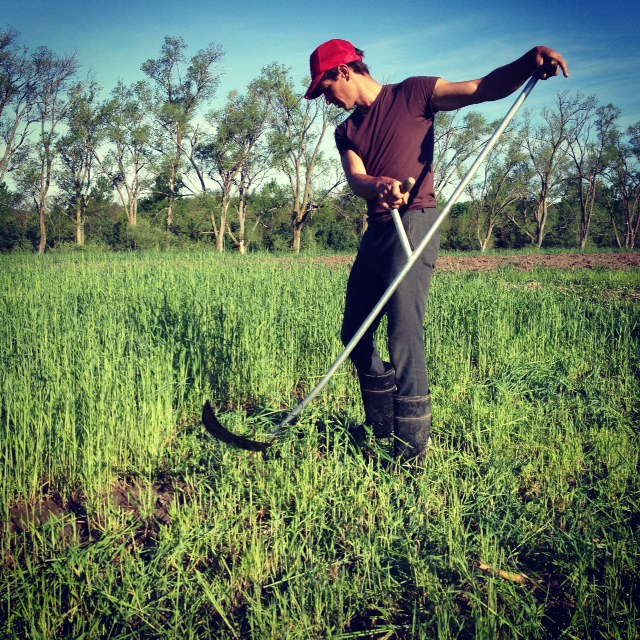nicolas on a quiet sunday morning cutting over-wintered rye with his scythe. we grow the rye for weed suppression and to increase organic matter and soil fertility.    *first CSA distribution is next week*   *shares still available!*