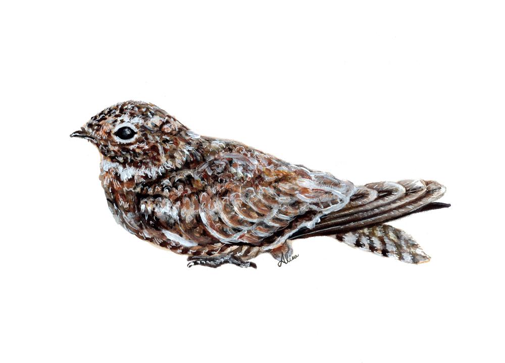 Antilean Nighthawk