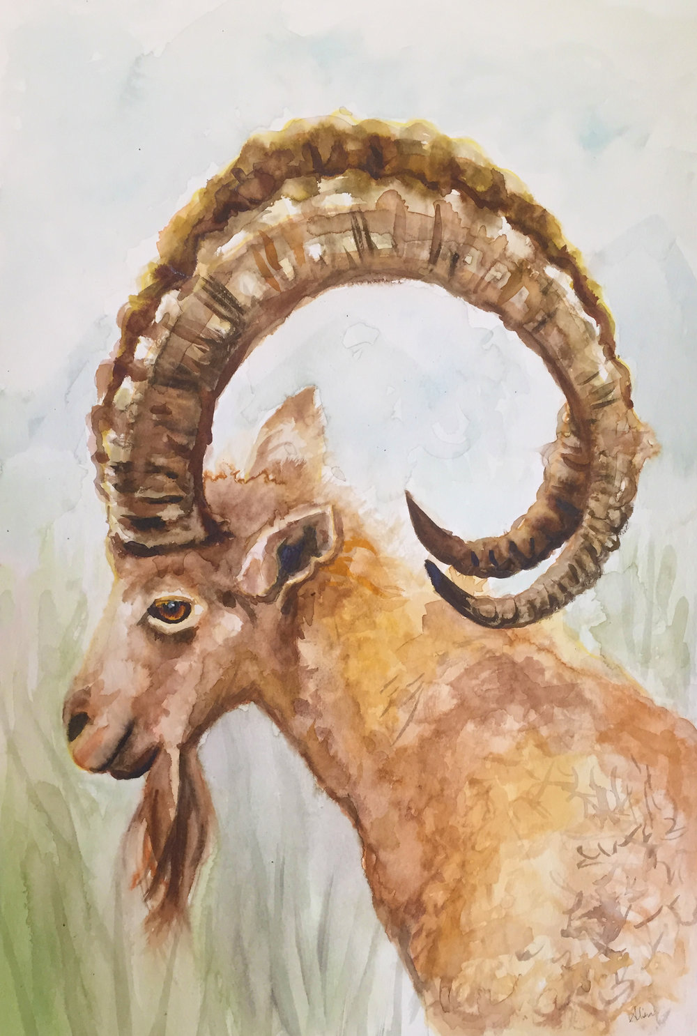 GOAT (Nubian Ibex)