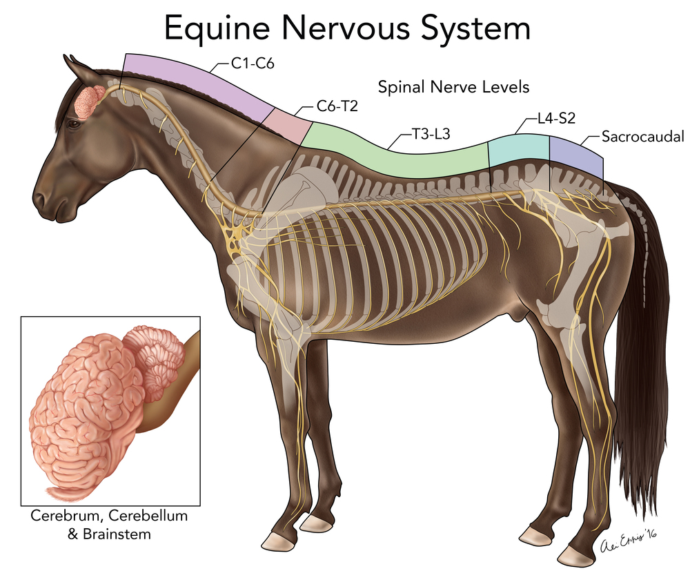 Equine Nervous System Diagram - Circuit Diagram Symbols •