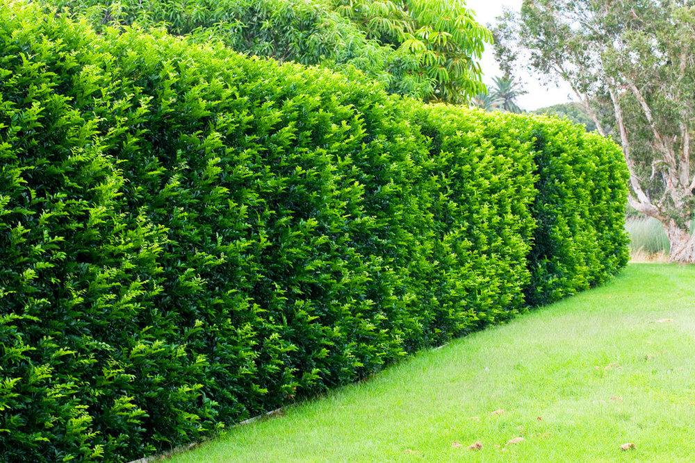 FLOREIRA EXISTENTE  Espécie: Murta - espécie arbustiva que formará uma cerca viva na floreira existente