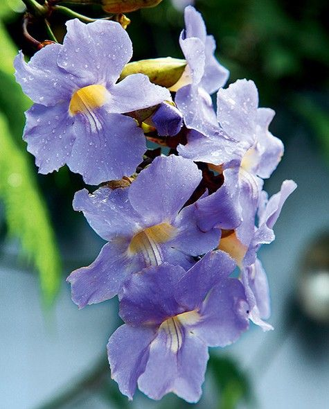 PERGOLADO  Espécie: Tumbérgia (Thunbergia grandiflora) - trepadeira conduzida para subir no pergolado