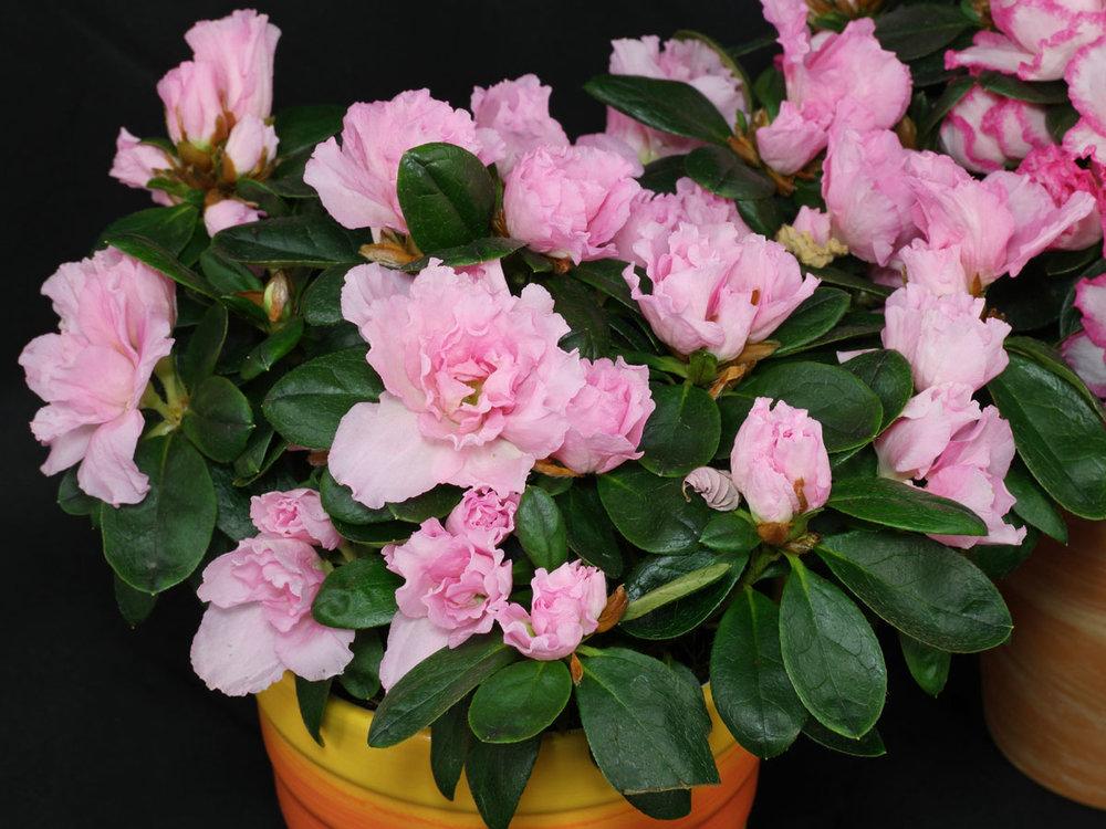 ESPÉCIE   Rhododendron simsii  - Azaléia  (cor a definir)