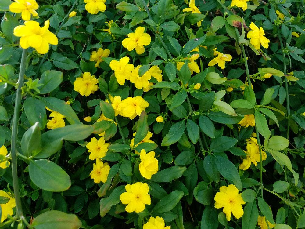 ESPÉCIE   Jasminum mesnyi  - Jasmim-amarelo