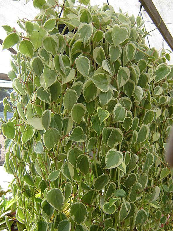 ESPÉCIE  Peperomia serpens - Peperômia-filodendro (forração pendente)