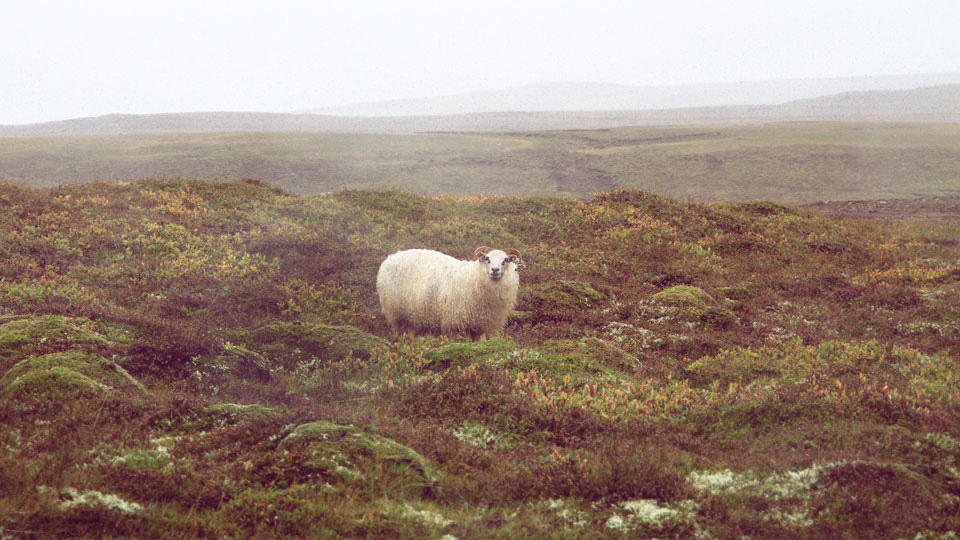 Iceland_sheep_AshEdwards_web.jpg