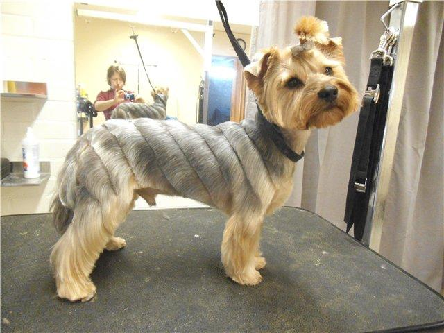 Yorkie's grooming /after (Domik)