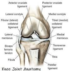 Knee Joint.jpeg