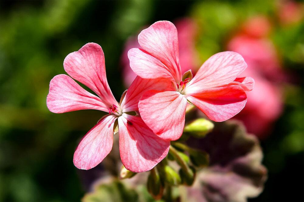 Jordanian Pink