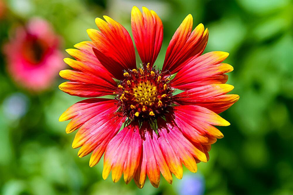 Naples Flower
