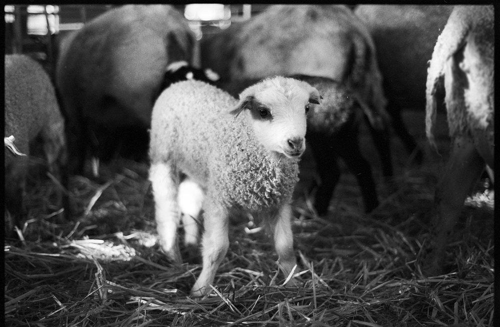 lamb bwedit.jpg