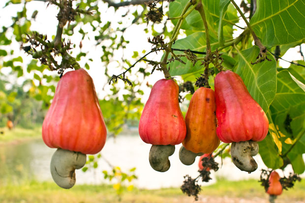 The strangely beautiful cashew apple.