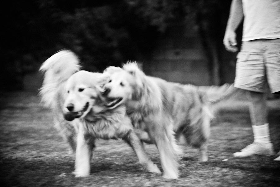 playing golden retrievers