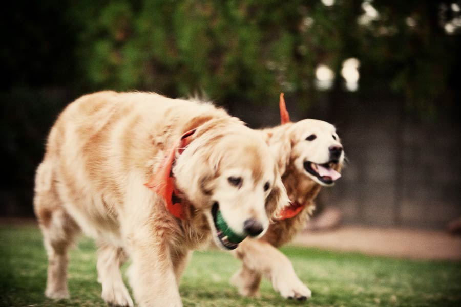 golden retriever's on the move