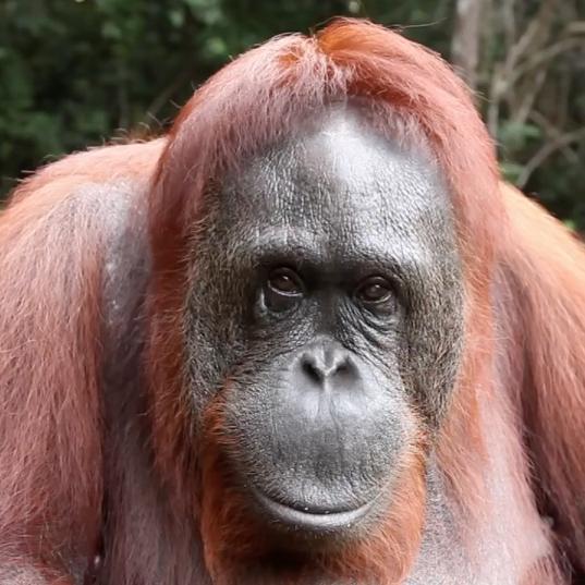 """RAN """"Orangutan Sign"""""""