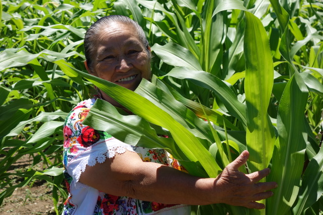 Doña Maria Ávila (Yucatec Maya), Elder and Knowledge Holder from Mexico embraces Seneca White Corn in The Cultural Conservancy's Three Sisters Garden in Novato, California.