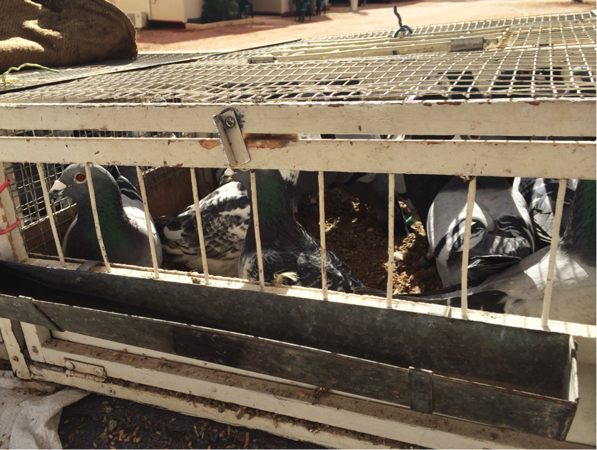 Mr Heberle's prized racing pigeons, prior to release.