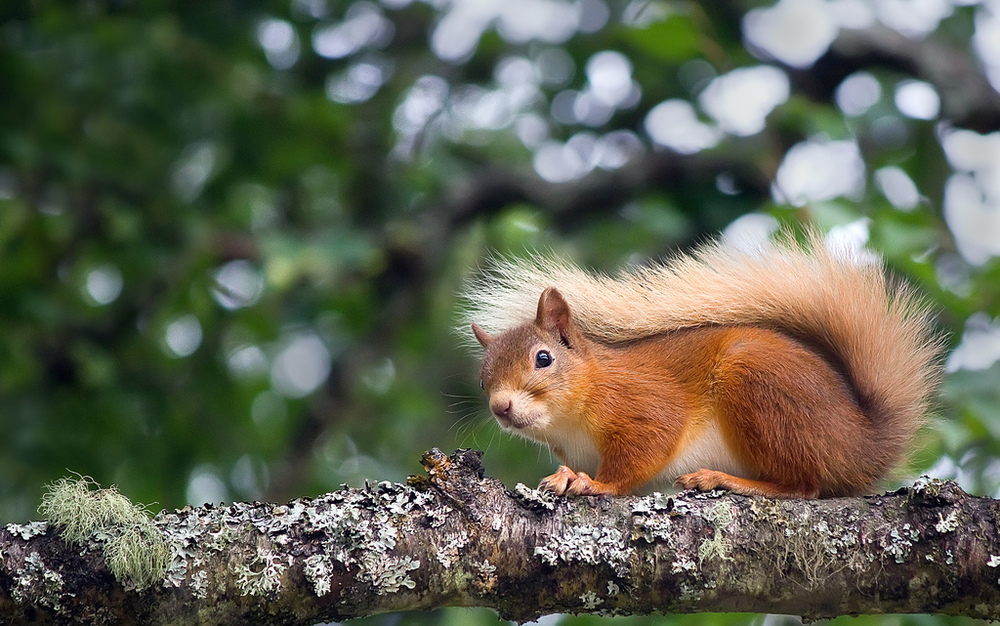 Red Squirrels are endangered in the UK and very rare except for certain locations in Scotland.  I also did a project on them as a child so seeing one in the wild for the first time in 15 years was pretty awesome.