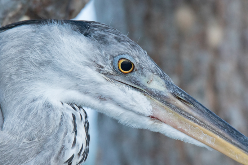 A close-up portrait of a grey heron taken in Pasir Ris park.  The bird landed very close to me in a tree and though it never took its eye off me, seemed unperturbed as I edged closer.  Sharpened & contrast enhanced.