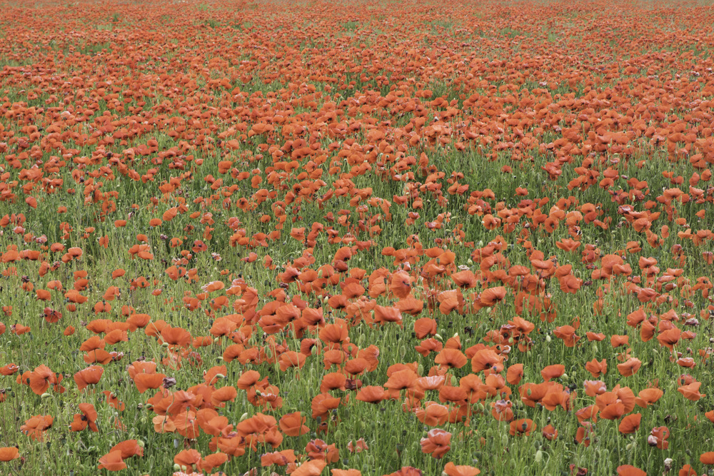 Another almost-SOOC shot, colours are natural (and really well rendered, red can sometimes be an issue for Canon) only lightly sharpened. This poppy field stretched for hundreds of metres in every direction.