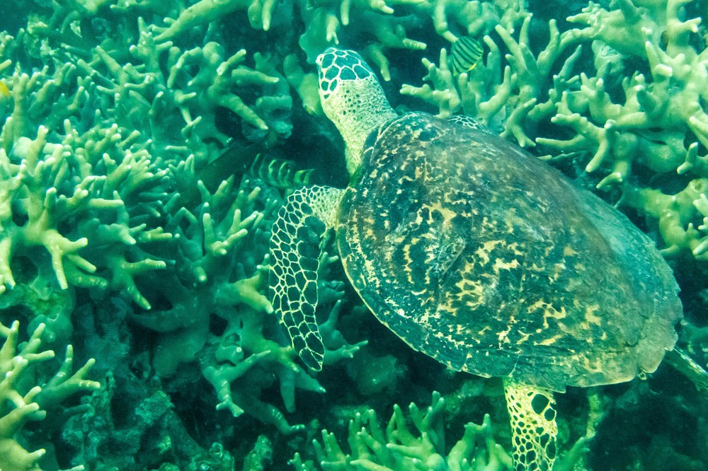A big Green Sea Turtle, shown here foraging among the coral.