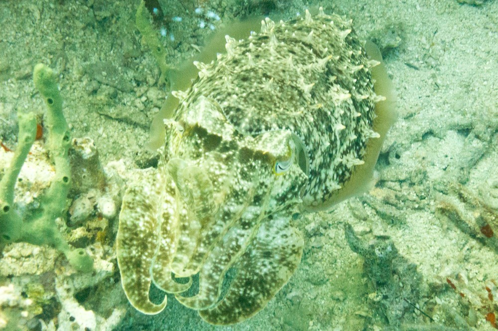 An extremely well camoflagued cuttlefish! Its eye is visible at almost the exact centre of the frame.