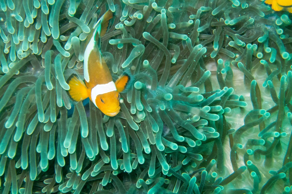 The first of many clownfish photos. I was on a mission to get some quality clownfish on this trip.  Shot on the D30.