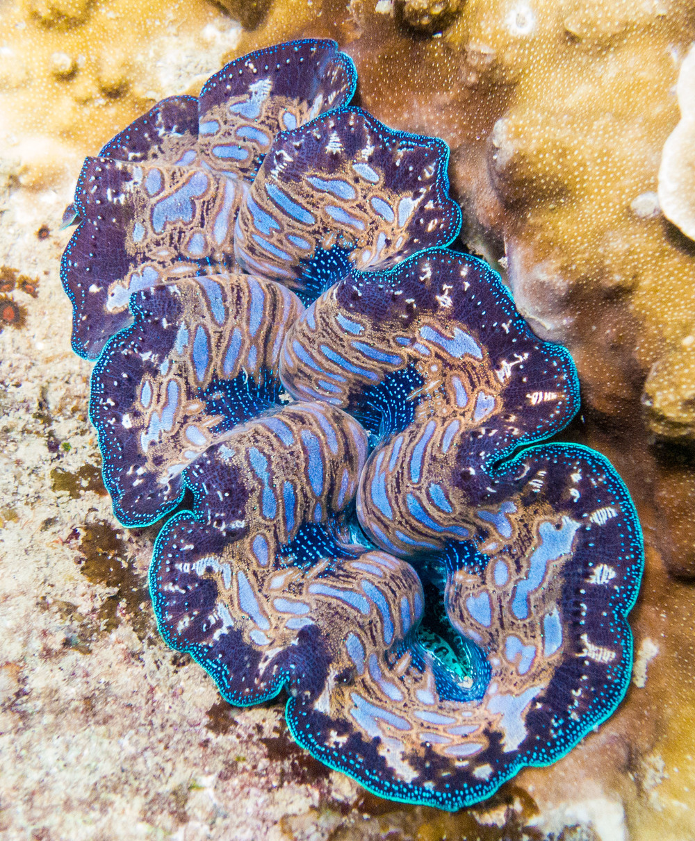 A exceptionally big & beautiful giant clam, this specimen was nearly half a metre long.