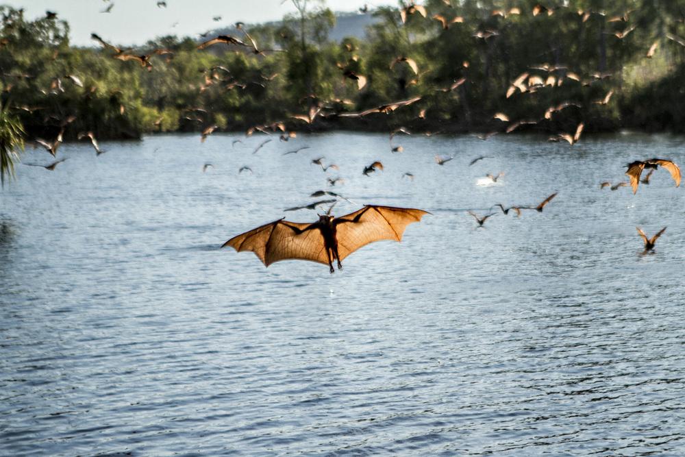 Normal   0           false   false   false     EN-US   X-NONE   X-NONE                                                                                 Katherine River, Nitmiluk National Park, Northern Territory   Orange Horseshoe Bats drinking on the wing