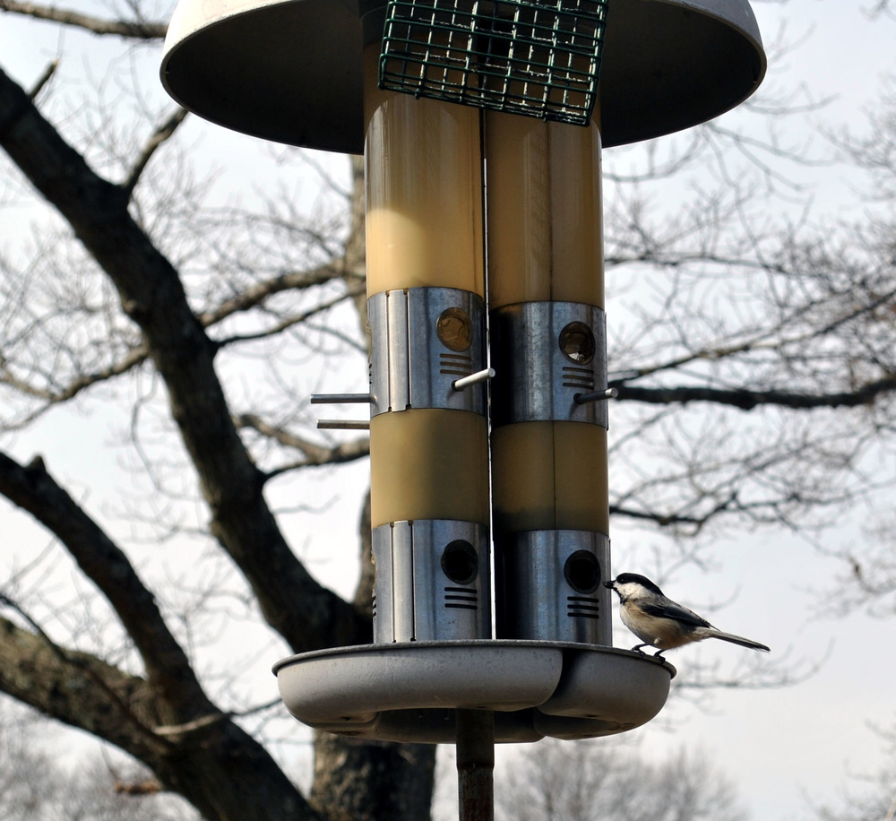 A bird feeder near 3rd Pond with a Black-Capped Chickadee as a visitor.