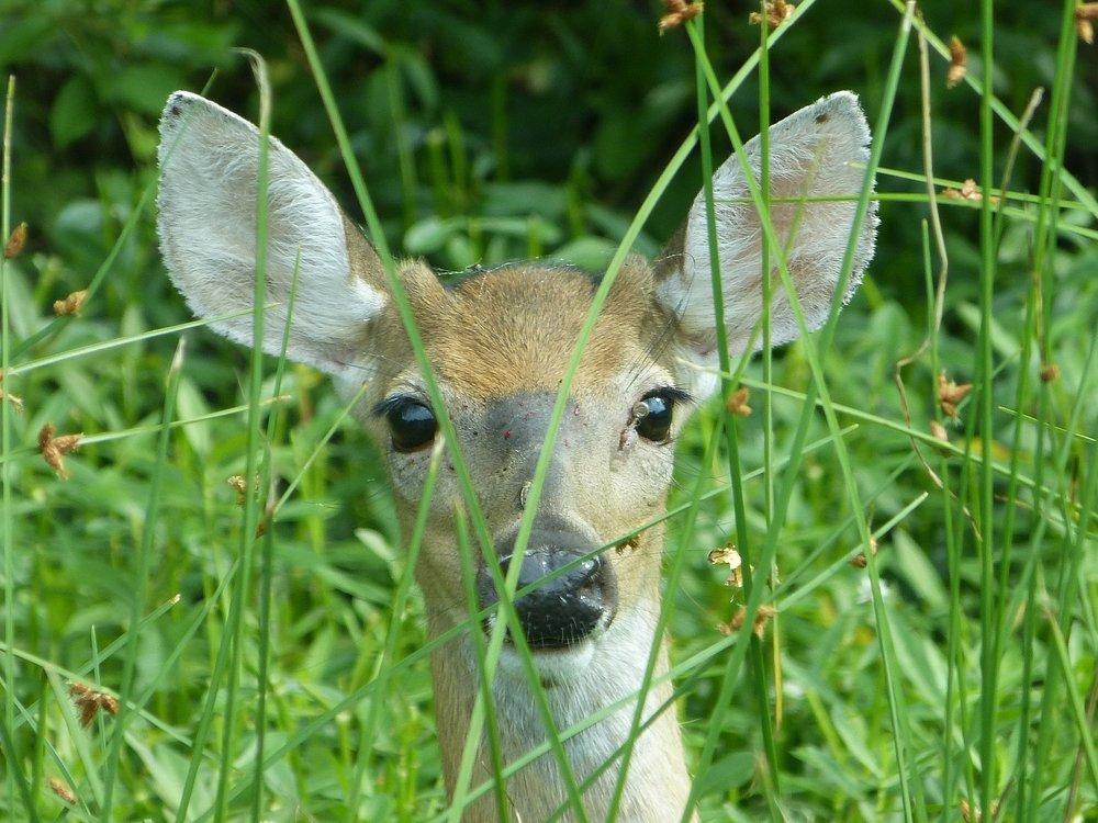 deer-981211_1920.jpg