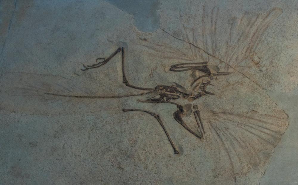 Fossil of Oldest Bird, 2015