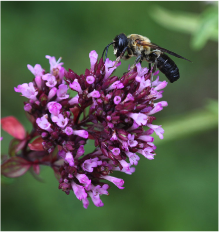 Pollination and biological control