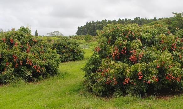 Kaimana Lychee in Hawaii