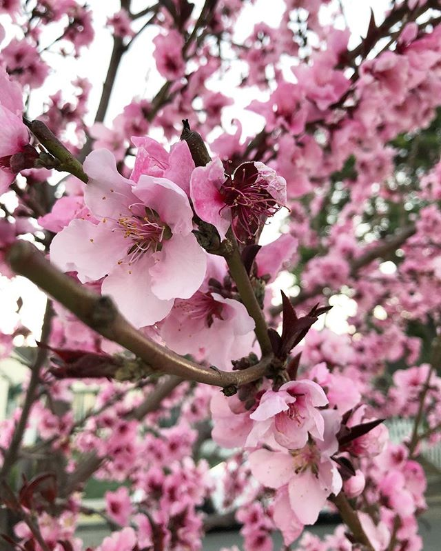 Spring is just about in the air  #losangeles #california #cherryblossom