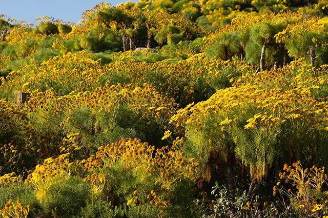 Flowers on flowers on flowers. This is the joyful Giant Coreopsis, which grow a couple feet off the ground with the help of a wooden trunk. This gives the sense that they're small, flowering trees.  #california #malibu #wildflowers #spring