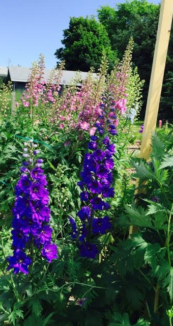 Delphiniums - some of them are 6 feet tall!