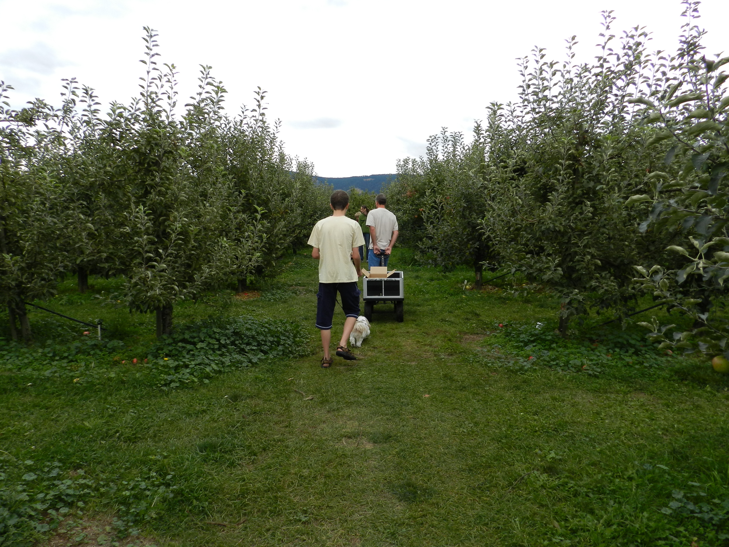 Apple picking at Kiyokawa Orchards (3)