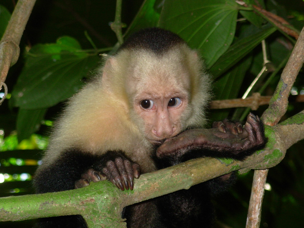 White-faced Capuchin in Manuel Antonio National Park.  It was this close!